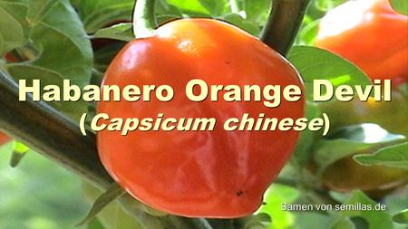 Habanero Orange Devil (Capsicum chinese) Samen von semillas.de.