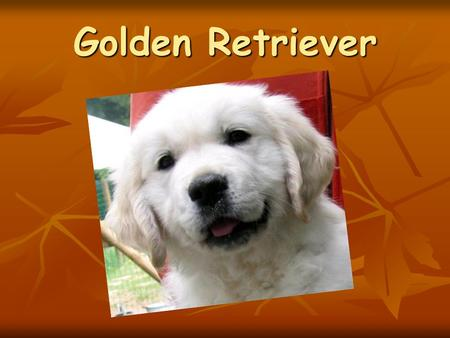 Golden Retriever.