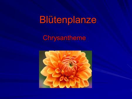Blütenplanze Chrysantheme.