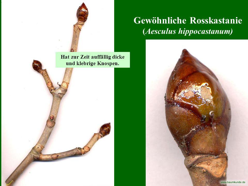 Gemeine Esche (Fraxinus excelsior) Merkmal: ganz auffällig schwarze, flache Knospen.