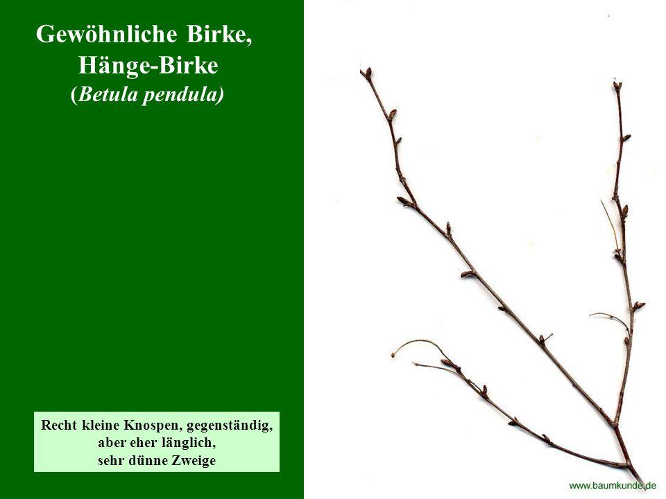 Winter-Linde (Tilia cordata) typisch: - rundliche, wechselständige Knospen - gabelartige Verzweigung (manchmal fehlt eine Seite, dann ist nur ein Knick)