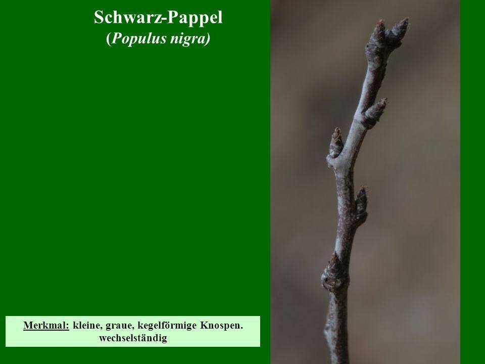 Kulturapfel (Malus domestica) Merkmal: Typisch sind die relativ dicken, knorrigen Zweige.