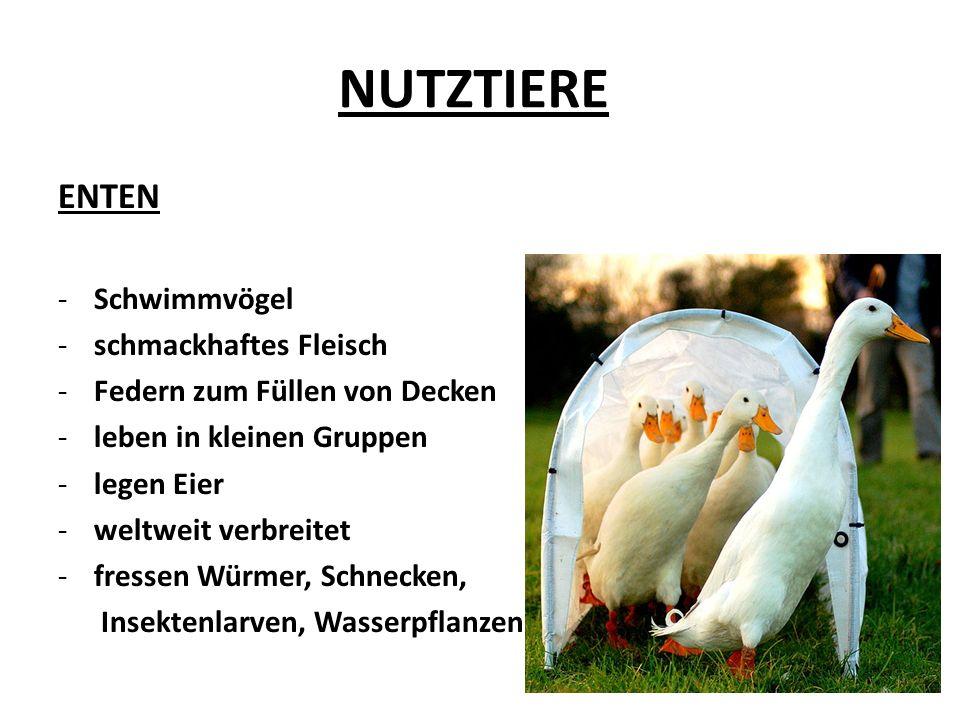 NUTZTIERE die Hausgans -wegen ihres fetten Fleisches und Federn gezüchtet -Schwimmvögel -treue Tiere – ein Partner -weißes Gefieder -wachsam, beißen -fressen Grünfutter -wiegen bis 6 kg -langer, kräftiger Schnabel