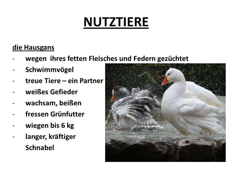 NUTZTIERE Hühner Hähne + Hennen gehören zu den ältesten Haustieren wiegen ungefähr 2 kg ein roter Kamm können nicht gut fliegen können schell rennen Hühnerfleisch sehr beliebt legen 4 – 5 Eier pro Woche