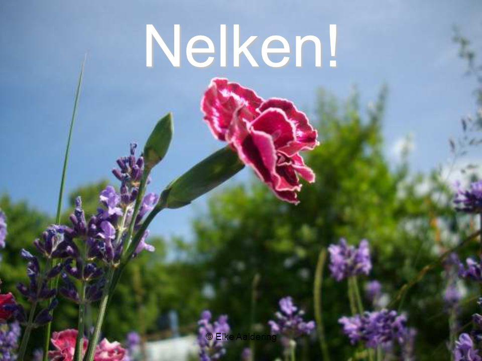 © Elke Aaldering Nelken!
