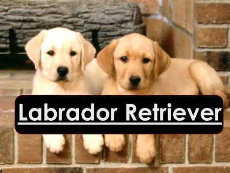 Labrador Retriever Labrador Retriever. Namensherkunft Englisch to retrieve = Apportieren Labrador Retriever.