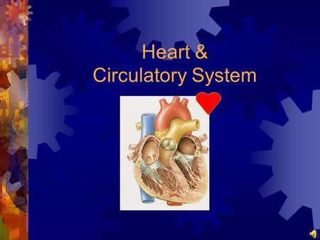 Heart & Circulatory System Heart (1): structure made of cardiac muscle surrounded by the pericardium (Herzbeutel) coronary arteries supply the heart.