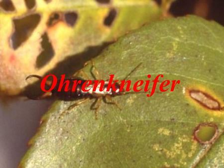 Doppelfüßer (lat. Diplopoda). - ppt herunterladen