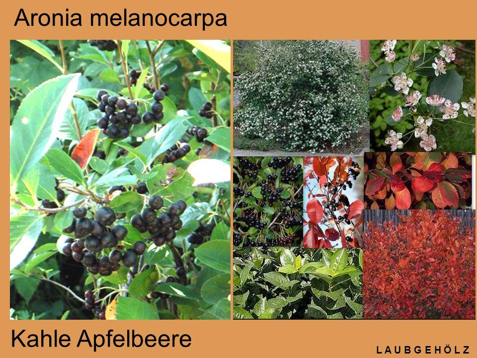 L A U B G E H Ö L Z Perovskia atriplicifolia Silber-Perowskie, Silberstrauch