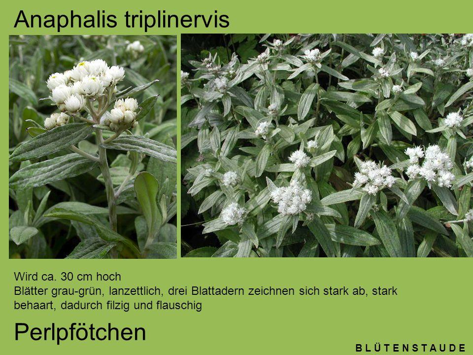 B L Ü T E N S T A U D E Buphthalmum salicifolium Ochsenauge weidenähnlichen Blättern und großen margeritenähnlichen Blüten.