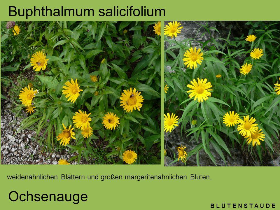 B L Ü T E N S T A U D E Linum perenne Lein Grazile Pflanze, kleine schmale grau-grüne Blätter