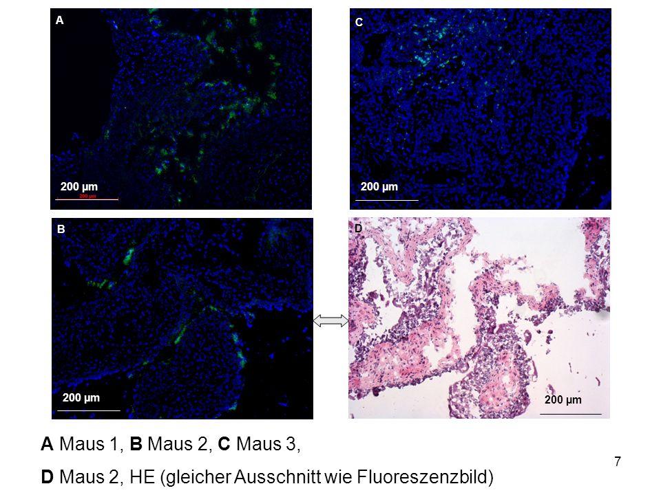 8 200 µm Maus 1: links: Fluoreszenzmikr., rechts: HE-Färbung (gleicher Ausschnitt)  FITC in Muskelschicht
