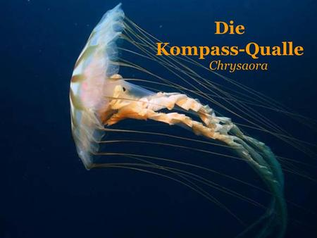 Die Kompass-Qualle Chrysaora.