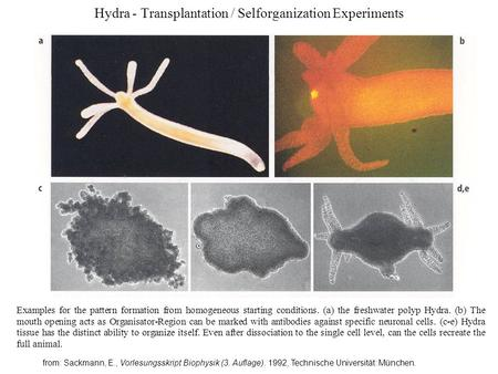 Hydra - Transplantation / Selforganization Experiments Examples for the pattern formation from homogeneous starting conditions. (a) the freshwater polyp.