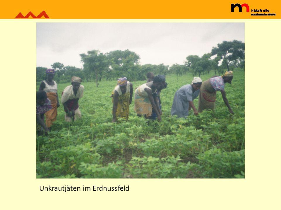Mais und Maniok werden zwischen jungen Ölpalmen angebaut