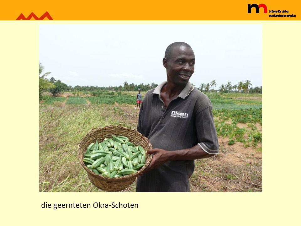 Mais und Okra in einer Mischkultur