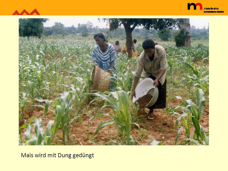 Erdnussfeld bei Dambai in Ghana