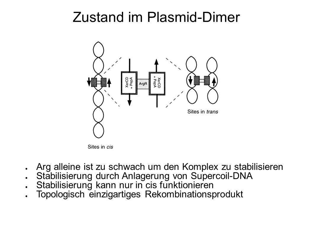 Verbindung zwischen Rekombination und Zellteilung Promotor P cer an der cer-site Genprodukt (Rcd) inhibiert Wachstum der Zellen Stopp des Zell-Zyklus c(Rcd) ist in Zellen mit Multimeren erhöht Synaptische Komplexe verändern DNA-Struktur und ermöglichen Transkription von P cer Rcd bildet eine Checkpoint bei der Replikation