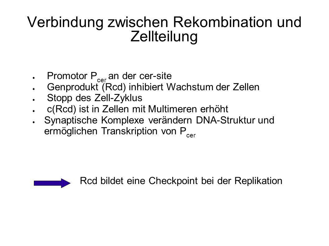 Der Rcd-Checkpoint Bei Zellteilung mit unvollständiger Multimerauflösung besteht die Gefahr plasmidloser Tochterzellen Problem: langsamer Rekombinationsmechanismus Erster Strangaustausch wird von XerC katalysiert Bildung der Holiday-junction Kein XerD-katalysierter Austausch den Gegenstrangs Komplex muss disoziieren, Auflösung der Holiday-junction erfolgt durch zelleigene Resolvase Verlangsamung des Gesamtvorgangs Erhöhung der Chance von Multimeren