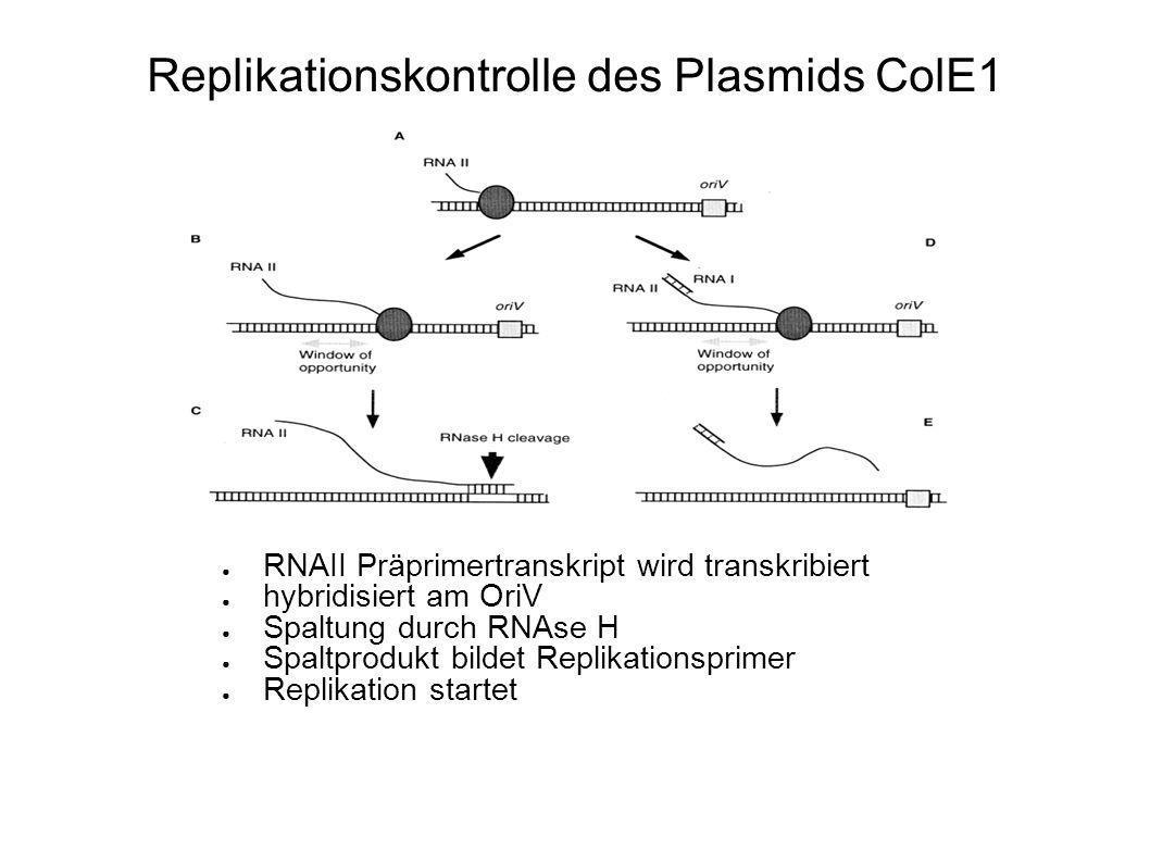 Replikationskontrolle des Plasmids ColE1 RNAI-Repressortranskript interagiert mit RNAII Veränderte Faltung der RNA keine Primerbildung, keine Transkription