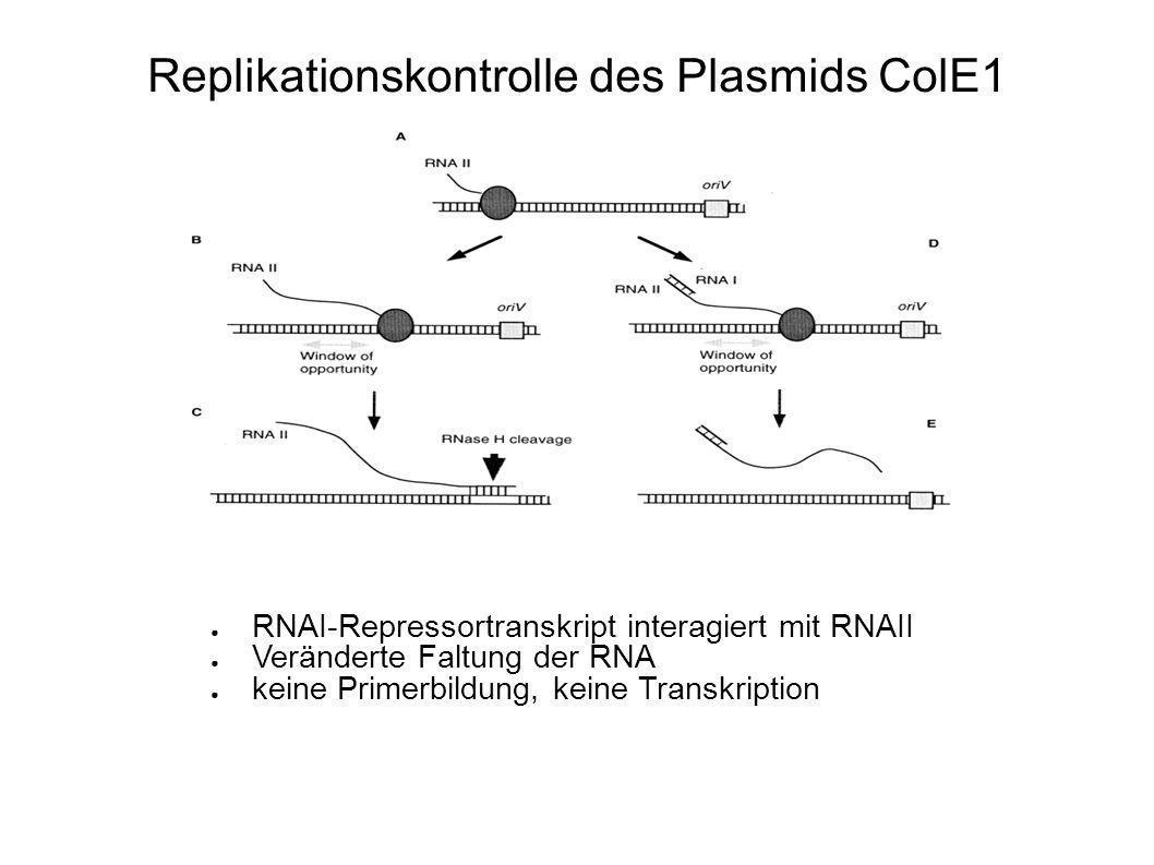 Folgen der Plasmid-Multimerisierung Bereits kleiner Anteil an Dimeren wirkt sich aus Chance, dass plasmidfreie Zellen entstehen Dimer hat doppelte Chance, repliziert zu werden Dimere verdrängen Monomere Dimer Katastrophe Aber: Zellen mit Multimeren wachsen langsamer