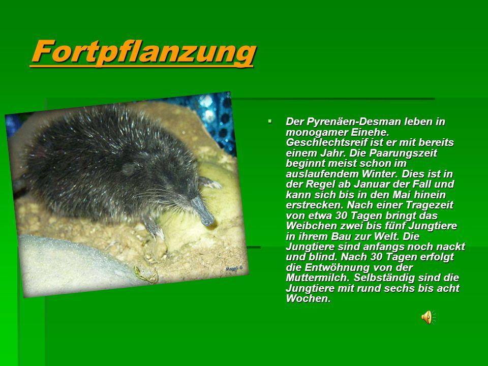 Fortpflanzung Der Pyrenäen-Desman leben in monogamer Einehe.