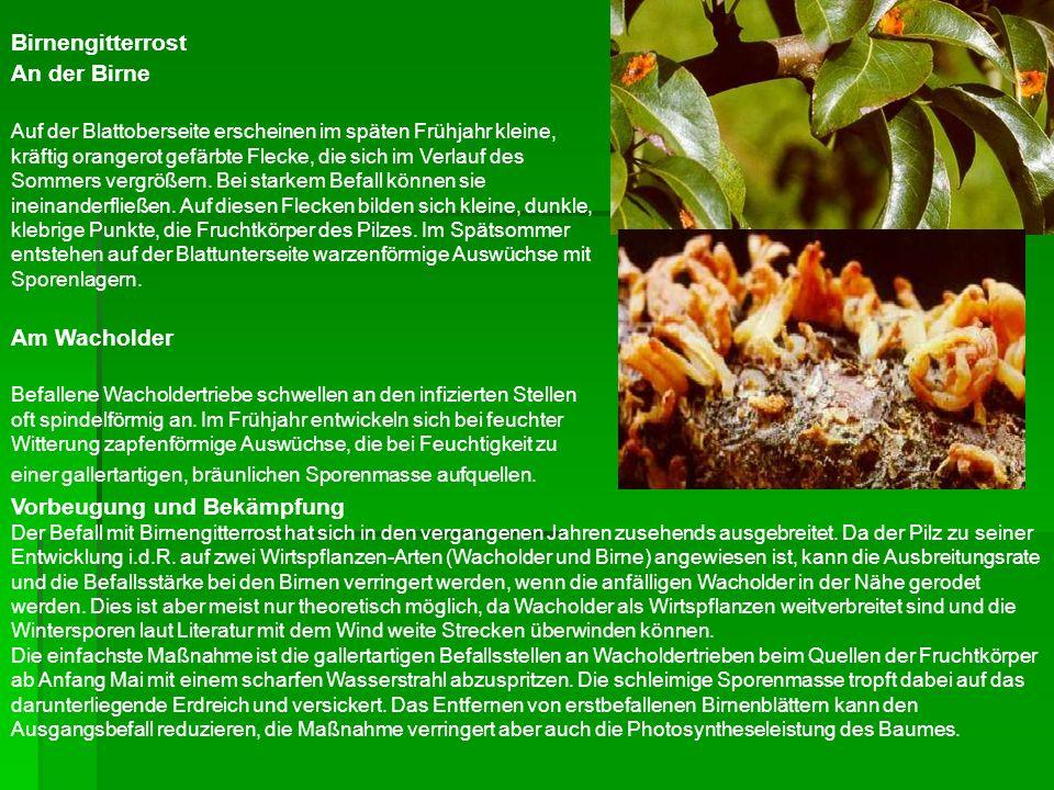 Sternrußtau, Echter Mehltau, Rosenrost Pflanzenbauliche Maßnahmen, z.B.