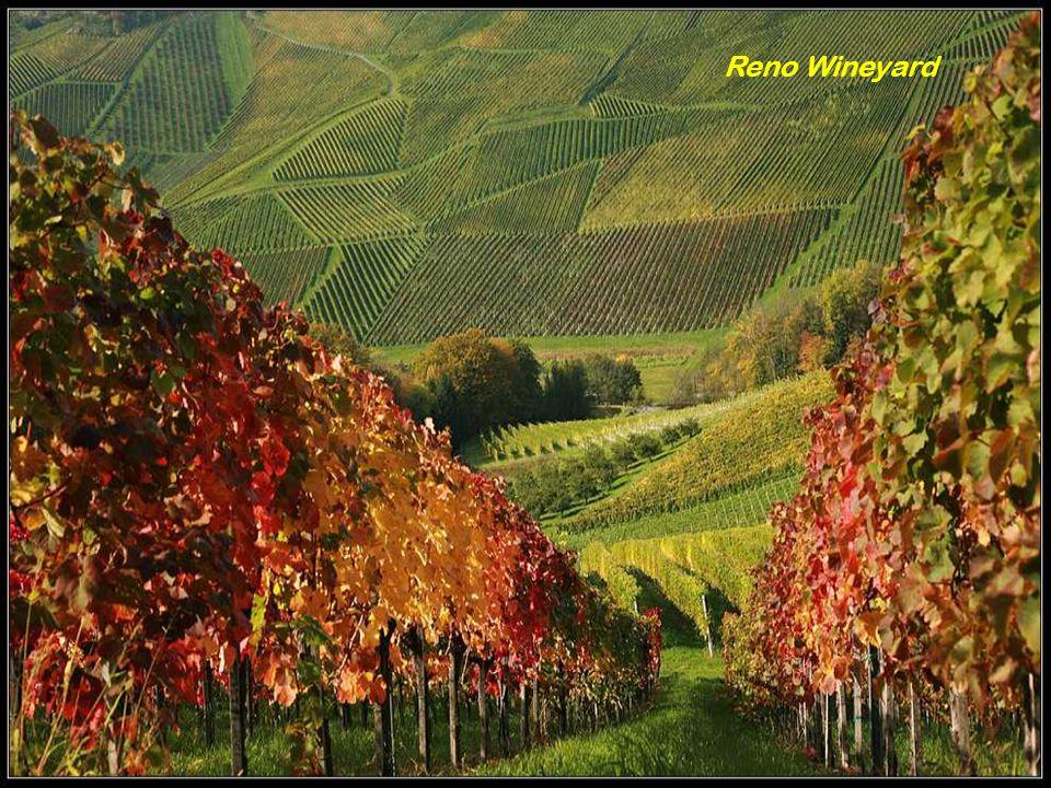 Reno Wineyard