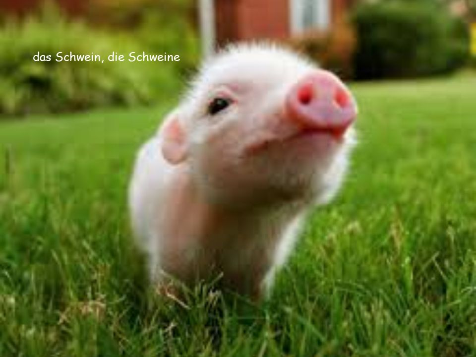 das Schwein, die Schweine