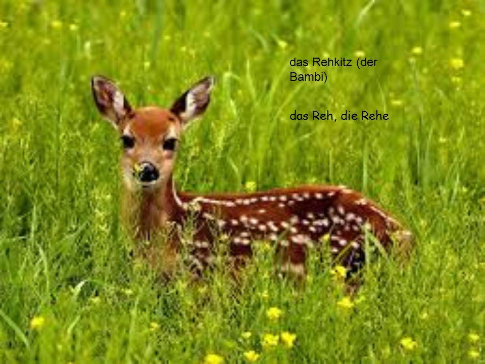 das Rehkitz (der Bambi)