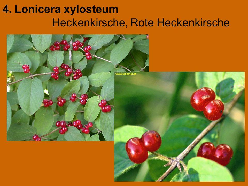 4. Lonicera xylosteum Heckenkirsche, Rote Heckenkirsche