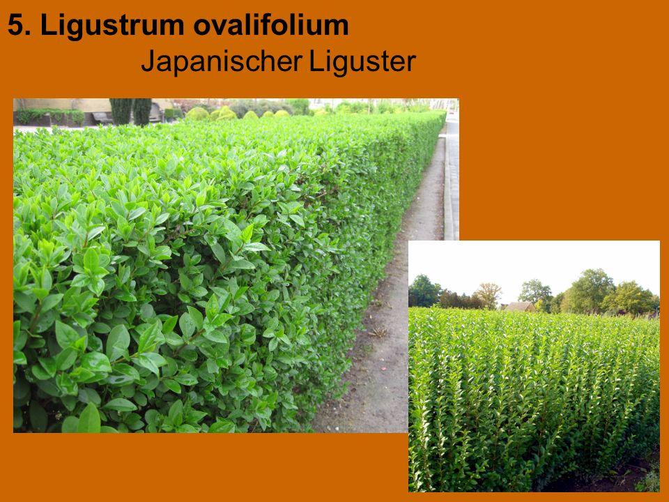 5. Ligustrum ovalifolium