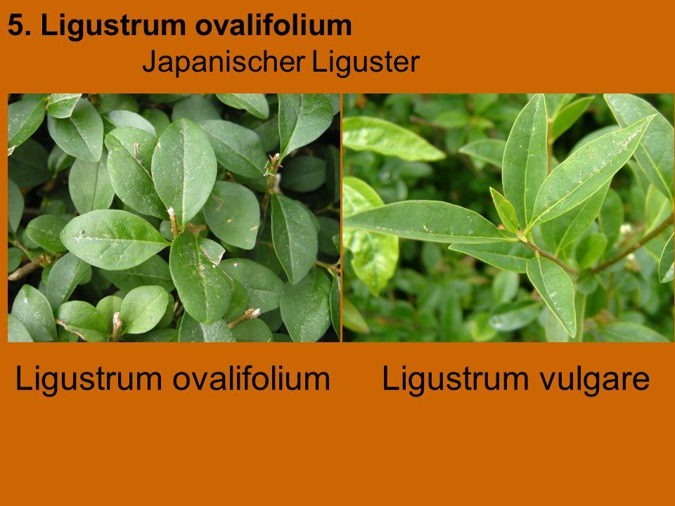 Ligustrum ovalifolium Ligustrum vulgare