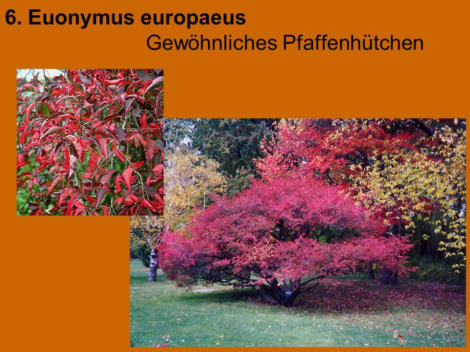 6. Euonymus europaeus Gewöhnliches Pfaffenhütchen