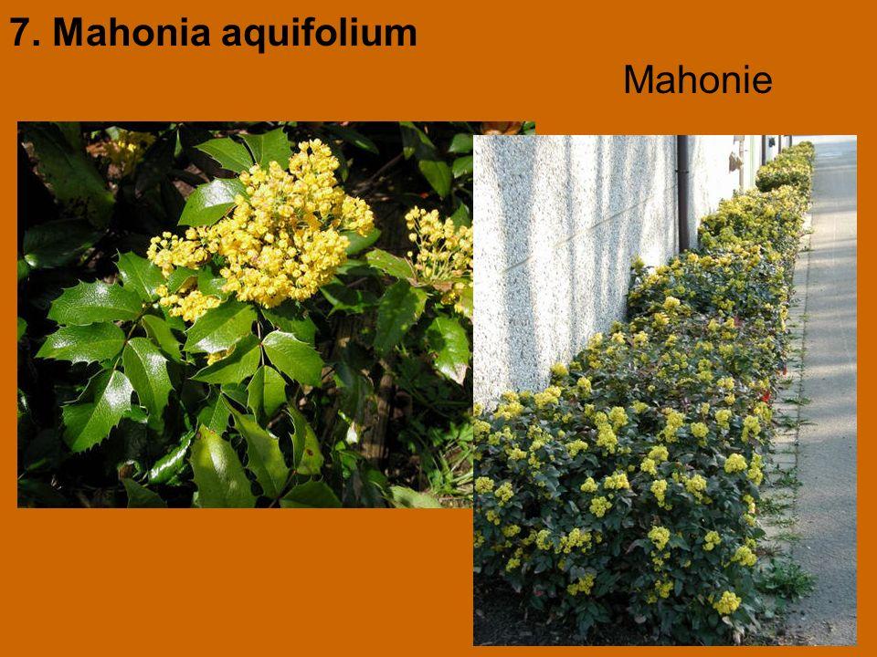 7. Mahonia aquifolium Mahonie