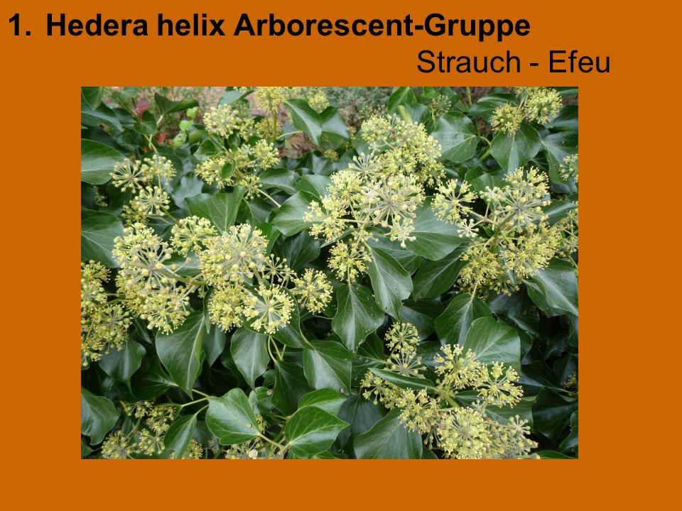 Hedera helix Arborescent-Gruppe