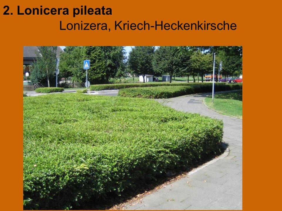 2. Lonicera pileata Lonizera, Kriech-Heckenkirsche
