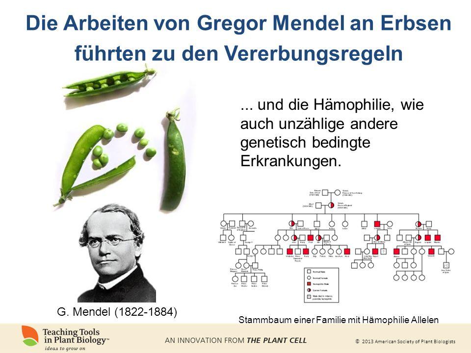 Die Arbeiten von Gregor Mendel an Erbsen führten zu den Vererbungsregeln