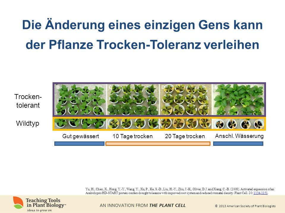 Die Änderung eines einzigen Gens kann der Pflanze Trocken-Toleranz verleihen