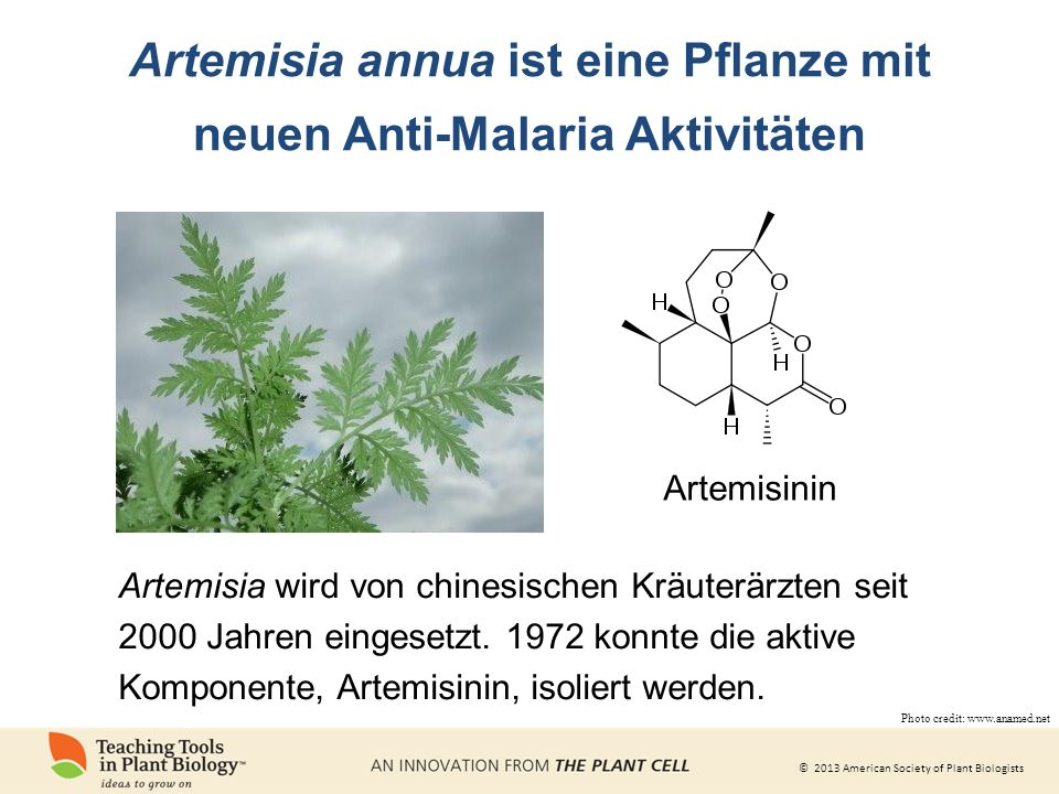 Artemisia annua ist eine Pflanze mit neuen Anti-Malaria Aktivitäten