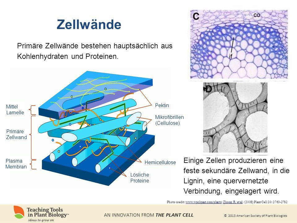 ZellwändePrimäre Zellwände bestehen hauptsächlich aus Kohlenhydraten und Proteinen. Mittel. Lamelle.