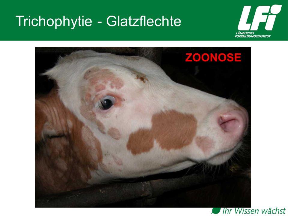 Trichophytie - Glatzflechte