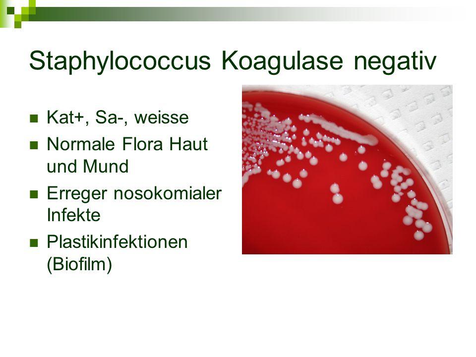 Staphylococcus Koagulase negativ