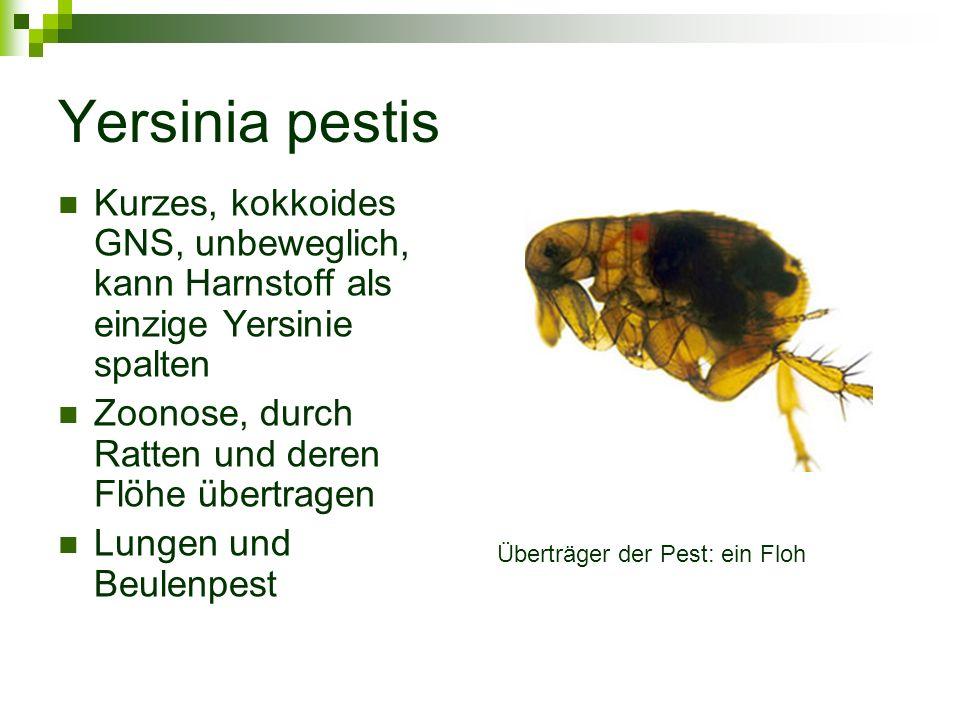 Yersinia pestis Kurzes, kokkoides GNS, unbeweglich, kann Harnstoff als einzige Yersinie spalten. Zoonose, durch Ratten und deren Flöhe übertragen.