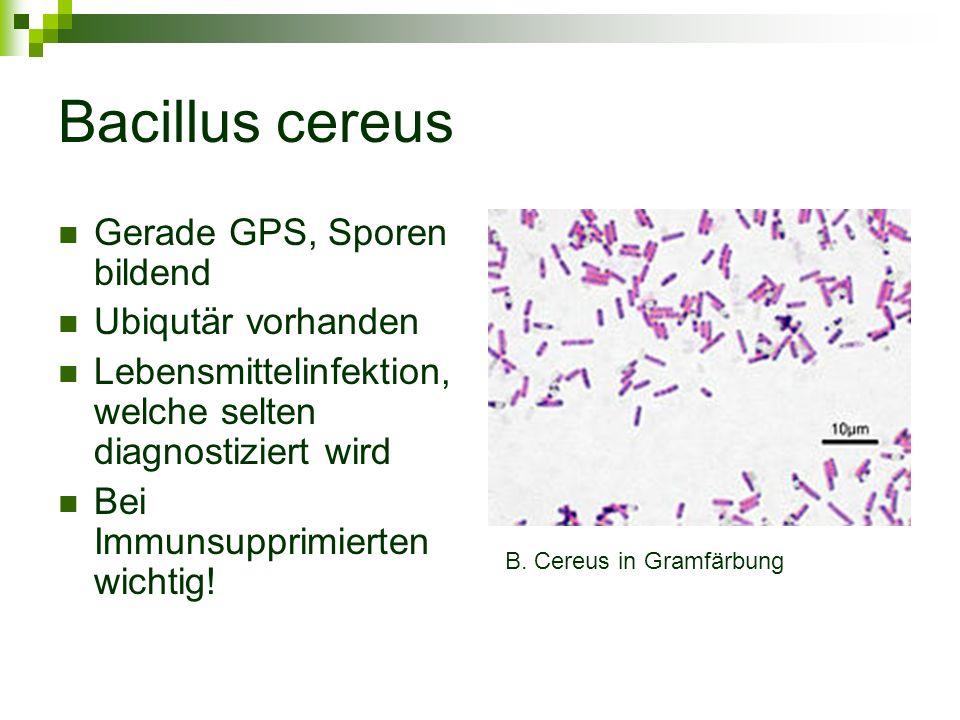 Bacillus cereus Gerade GPS, Sporen bildend Ubiqutär vorhanden