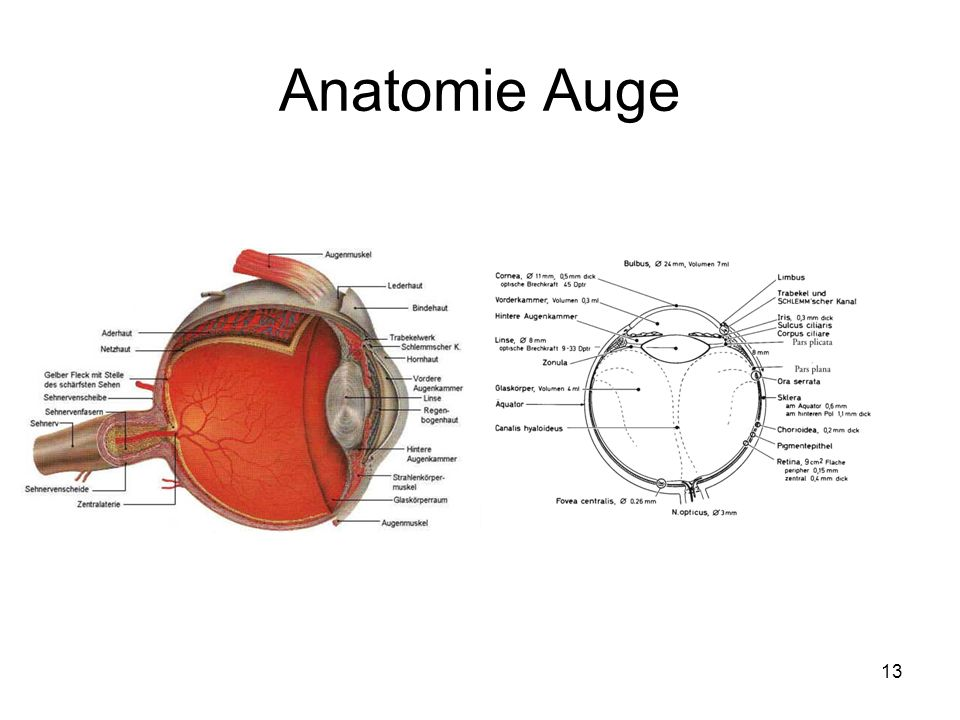 Fantastisch Die Anatomie Des Auges Galerie - Menschliche Anatomie ...