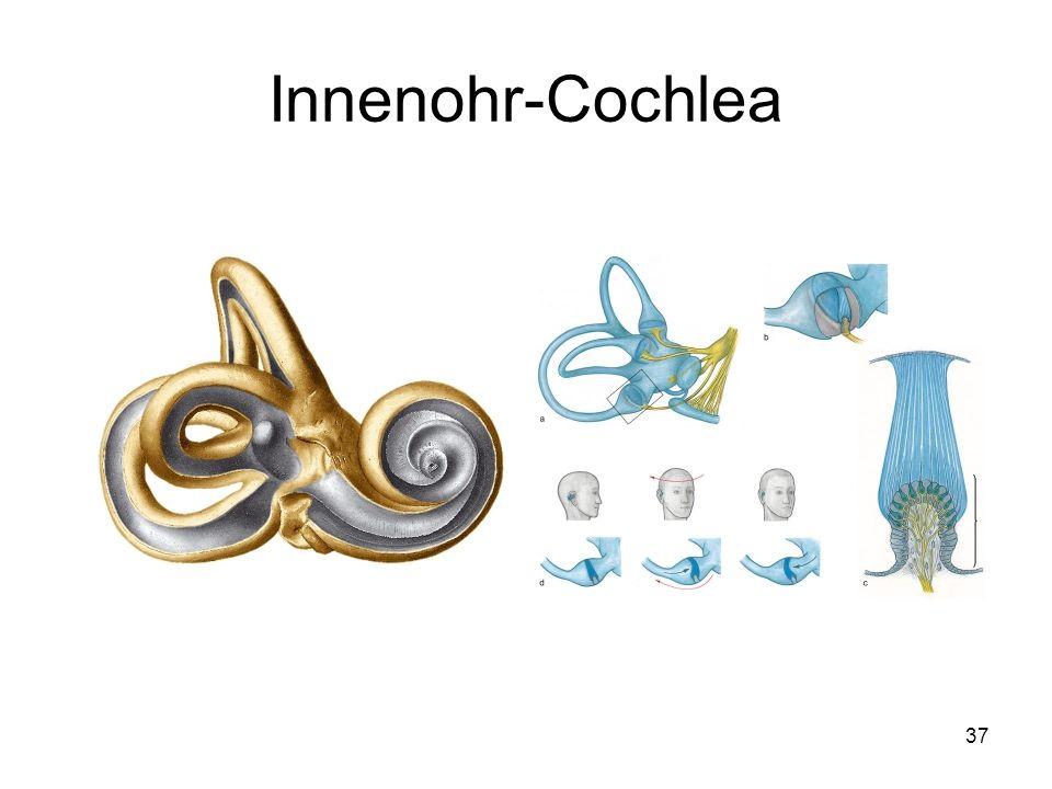 Innenohr-Cochlea