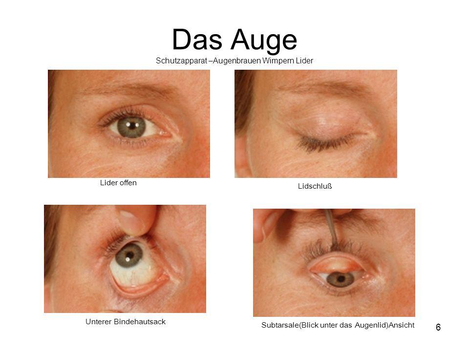 Das Auge Schutzapparat –Augenbrauen Wimpern Lider