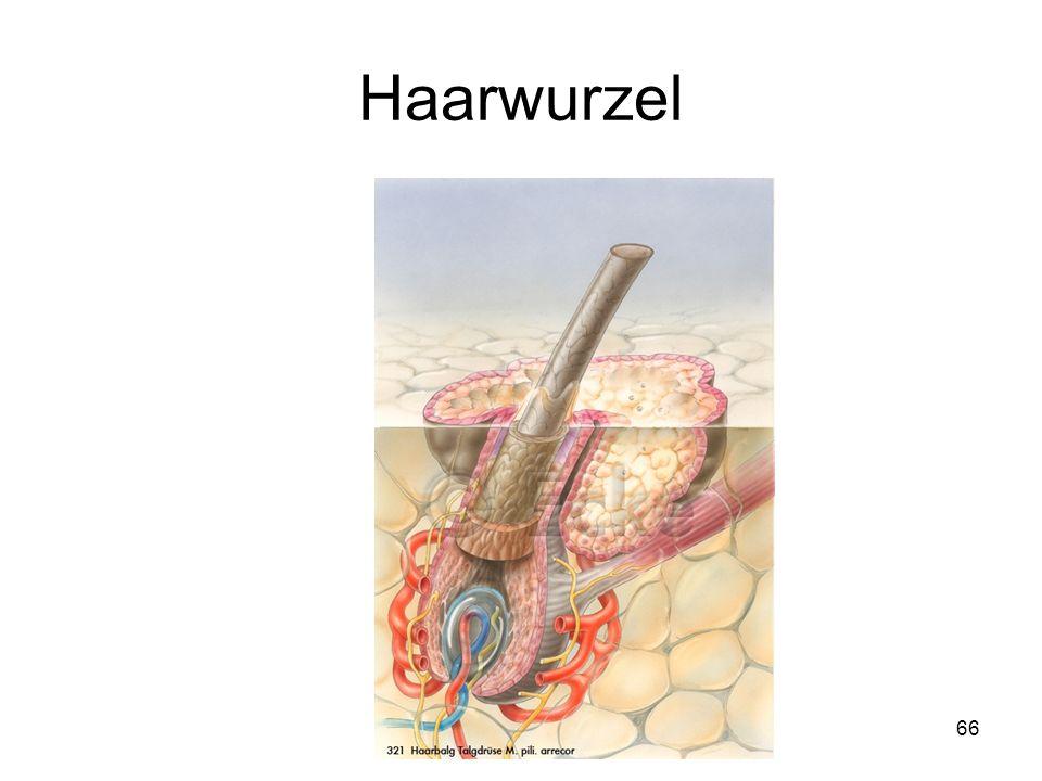 Haarwurzel Vater-Pacini-Körperchen Haarwurzelscheide Nervenfasern
