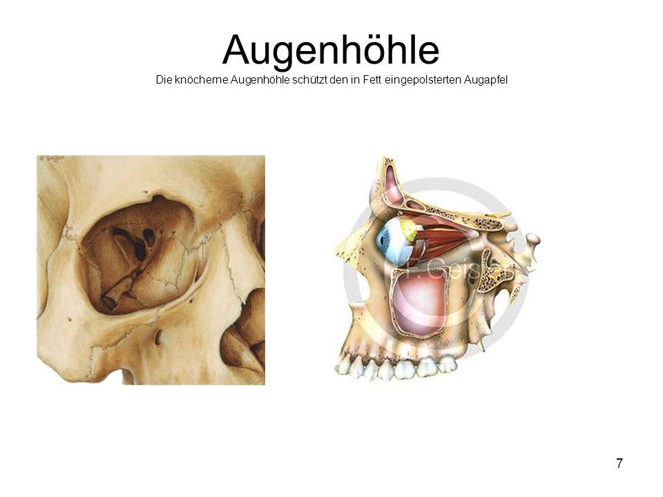Augenhöhle Die knöcherne Augenhöhle schützt den in Fett eingepolsterten Augapfel
